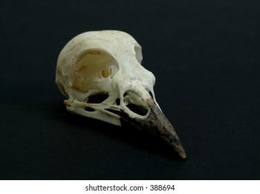 Blue jay skull