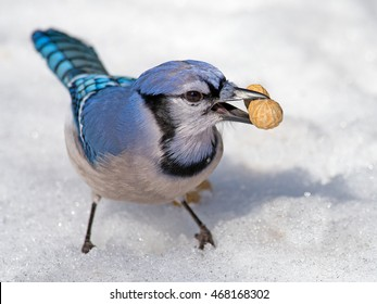 Blue Jay in the Snow Eating Peanut