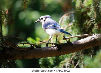 Blue Jay standing on a tree branch