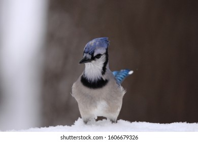 Blue jay standing in snow.