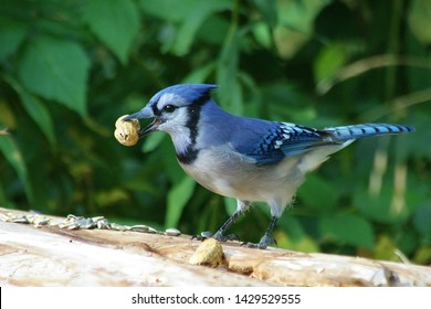 Blue Jay stealing a peanut left out in forest