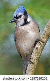 Blue Jay - Vertical