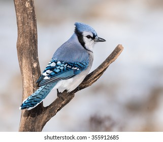 Blue Jay in Winter