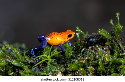 Blue jeans Dart Frog running on moss, Costa Rica