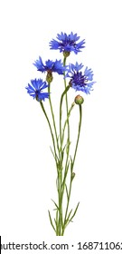Blue knapweed flowers and bud in a small bouquet isolated on white. Profile view.