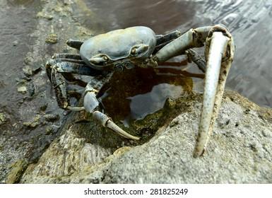 Blue Land Crab (Cardisoma Guanhumi) Mangrove Land Crab likely to be Cardisoma guanhumi Maria La Gorda Guanahacabibes UNESCO Biosphere Reserve Cuba Caribbe