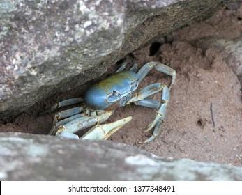 Blue land crab in Ilhabela, Brazil