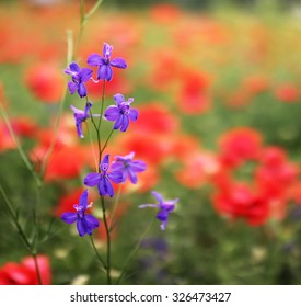 Blue larkspur flower growing in poppies field