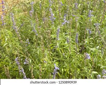 Blue and lavender color flowers of Great blue lobelia or Lobelia siphilitica plant
