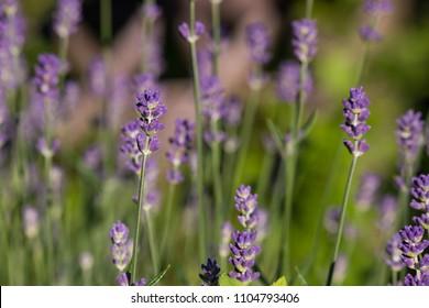 blue lavender field