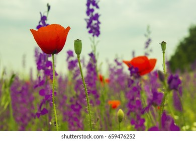 Blue lavender and red poppy flowers on a farm field