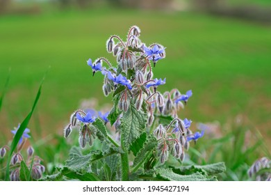 Blue leaves of borago officinalis starflower against a geen field. Empty copy space for Editor's text.