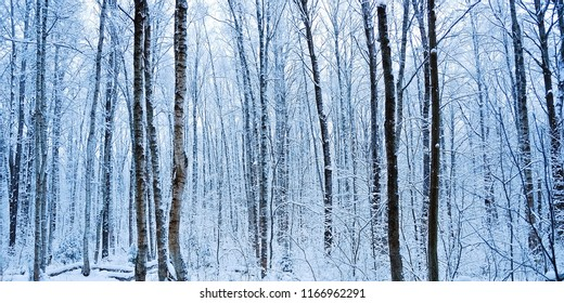 The blue light in the forest in winter, trees and snow. Russia