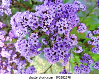 Blue lilac flowers