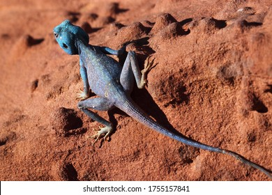 a blue lizard belonging to agamidea family (dragon lizards) resting on the red sands of Wadi Rum, Jordan (isolated, close up image)