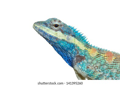 Blue Lizard with big eyes in closed up details, on white background