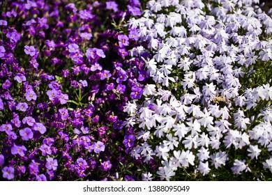 blue lobelia in the flowerbed