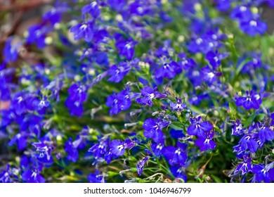 Blue lobelia flowers in the park
