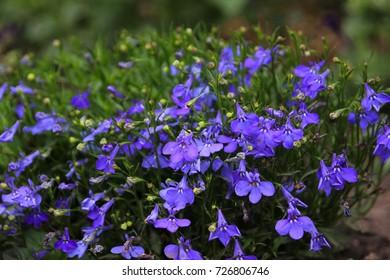 blue lobelia. Lobelia in the garden.