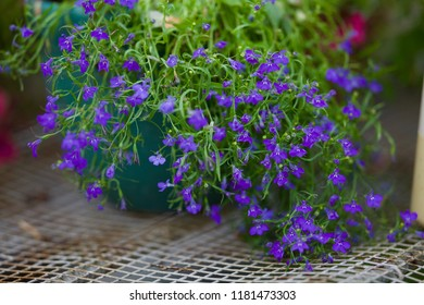 "Blue Lobelia Sapphire flowers (Its Latin name is Lobelia Erinus ""Sapphire"". Also called Edging Lobelia, Garden Lobelia) Focus concept. Space for text."