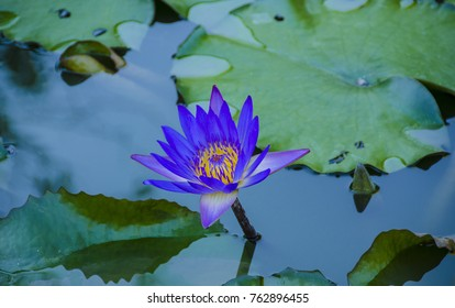 Egyptian lotus images stock photos vectors shutterstock blue lotus blue egyptian lotus or also blue water lily or blue egyptian water lily mightylinksfo