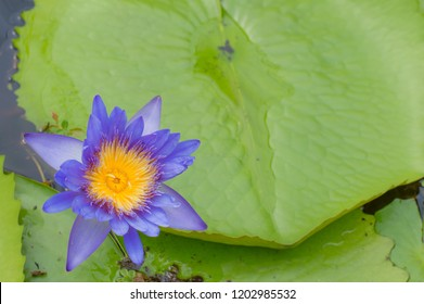 Blue Lotus flower or Nymphaea nouchali or Nymphaea stellata is a water lily of genus Nymphaea.