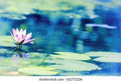 Blue Lotus Water Lily (Nymphaea nouchali)