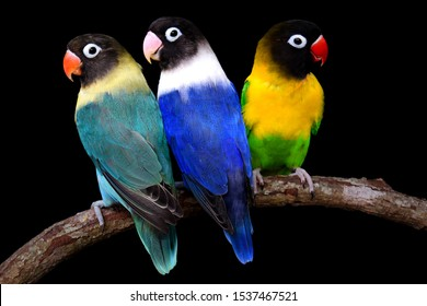 The blue lovebird turned back and yellow turned and had a black background.