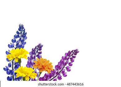Blue lupines beautiful flowers on a white background. marigold