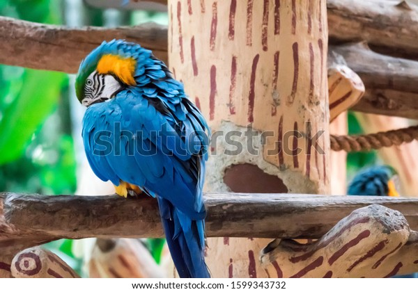The Blue macaw called Blue throated macaw on perch