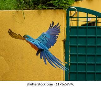 blue macaw in flight