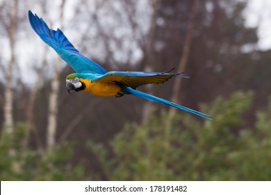 blue macaw parrot flying