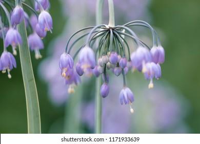 Blue magenta Flowers - Wild Onion (allium cernuum) flowers, also known as Nodding Leek