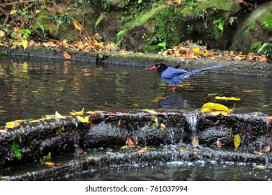 Blue magpie, blue bird free splashing in the pool happy splashing picture.