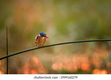 Blue Malachite kingfisher, Corythornis cristatus perching on a reed and looking for fish against red, very colorful evening light. Blurred background. Lake Ziway, wildlife of Ethiopia.