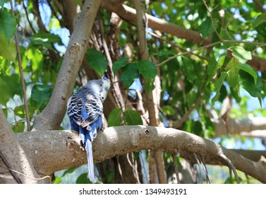 A blue, male budgie (Melopsittacus undulatus) perched on a branch.