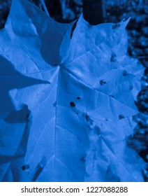 Blue maple leaf and insects