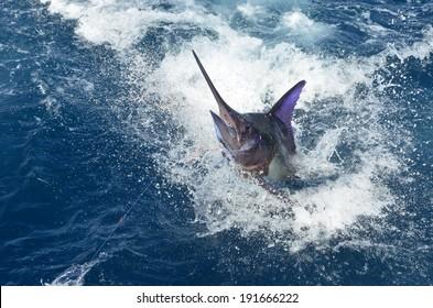 BLUE MARLIN FISH 2