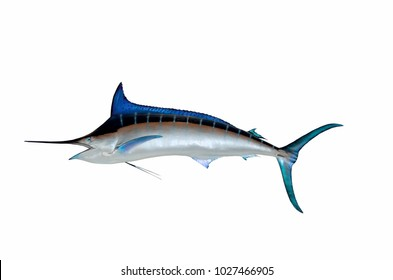 Blue Marlin fish mount background isolated