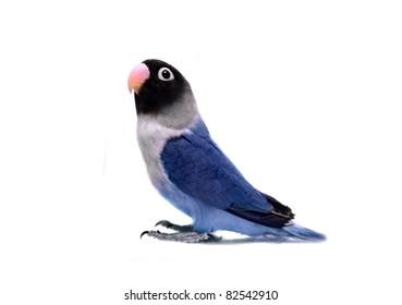 Blue Masked Lovebird Images Stock Photos Vectors Shutterstock