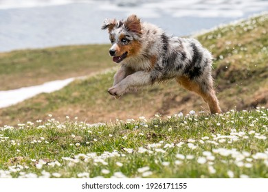 blue merle Australian shepherd dog runs and jump on the meadow in colle del nivolet in piedmont in Italy
