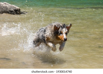 blue merle Australian shepherd dog runs on the shore of the Ceresole Reale lake in Piedmont in Italy