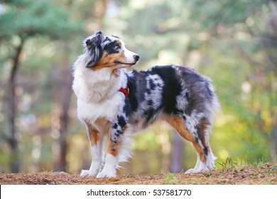 Blue merle Australian Shepherd dog with a red harness staying in the forest