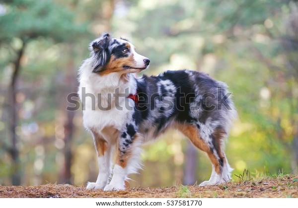 Blue Merle Australian Shepherd Dog Red Stock Image