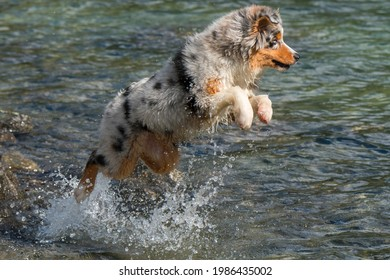 blue merle Australian shepherd puppy dog runs on the shore of the Ceresole Reale lake in Piedmont in Italy