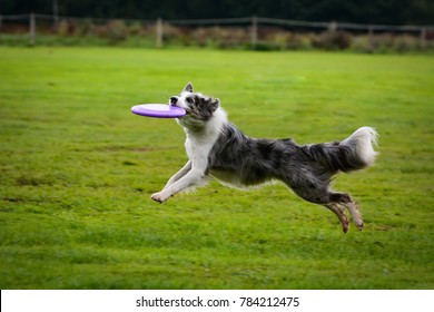 Blue merle Border collie catching frisbee