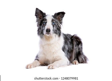 Blue Merle border collie dog in front of a white background