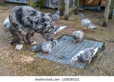 Blue merle cattle dog lookalike watches pigeons feeding