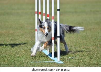 Blue Merle Shetland Sheepdog (Sheltie) Weaving Through Poles at Dog Agility Trial
