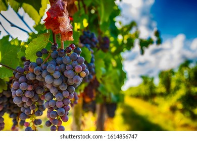 blue merlot grapes in green summer vineyard